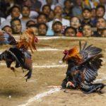Jenis-Jenis Ayam Dalam Judi Sabung Ayam Online