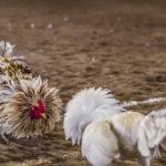 Keuntungan Situs Sabung Ayam S128