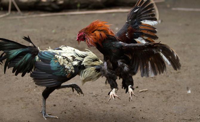 Tips Dan Trik Jitu Menang Sabung Ayam Online